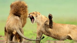 Leões brigam