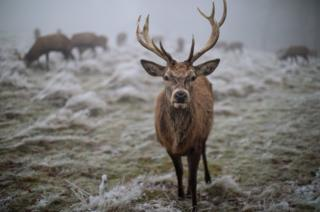 A red deer is pictured on frosty ground in Richmond Park.