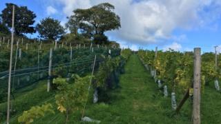 Vines at Gwinllan Conwy vineyard