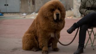 A Tibetan mastiff dog is displayed for sale at a mastiff show in Baoding, Hebei province, south of Beijing on March 9, 2013.