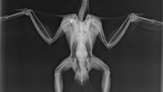Peregrine falcon's X-ray