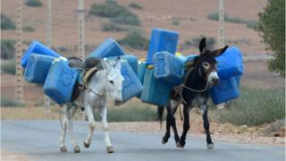 Donkeys carrying jerry cans near the Algerian-Morocco border