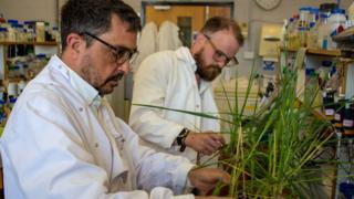Dr Peter Morris and Dr Ross Alexander examine barley plants in the lab