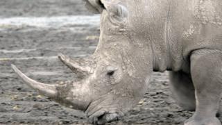 A northern white rhino