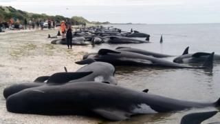 Baleias-piloto encalhadas na praia de Farewell Spit, na Nova Zelândia
