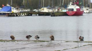 Ducks at Oxford Island