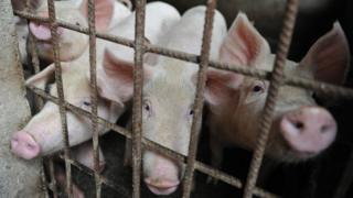 Chinese pigs
