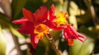 Orquídea Arundina Graminifolia del Himalaya