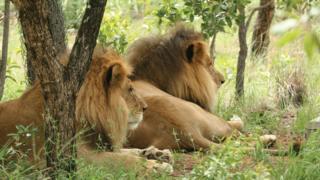 الأسدان خوسيه وليسو في محمية إيمويا في إقليم ليمومبو بجنوب أفريقيا