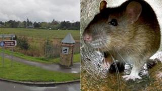 Palacerigg Country Park and rat