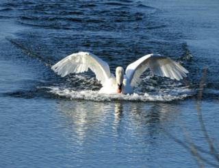 A Swan coming into land with wings spread out