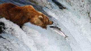 Grizzly bear catching a pink salmon