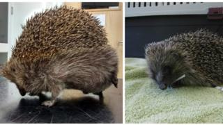 The hedgehog before and after