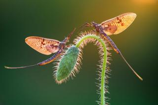Two mayflies perched on a plant stem
