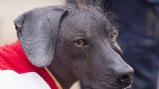 A close-up showing three-year-old hairless dog, Sumac
