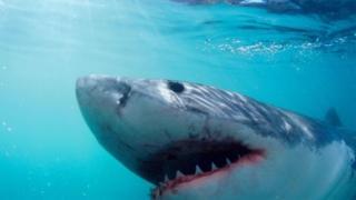 إحدى أسماك القرش الضخمة
