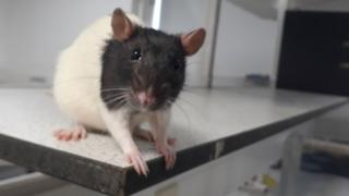 Once paralysed rat