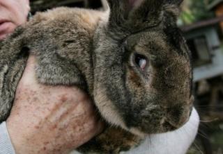 這只兔子並不是西蒙