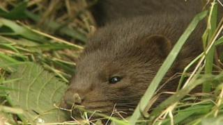 A mink