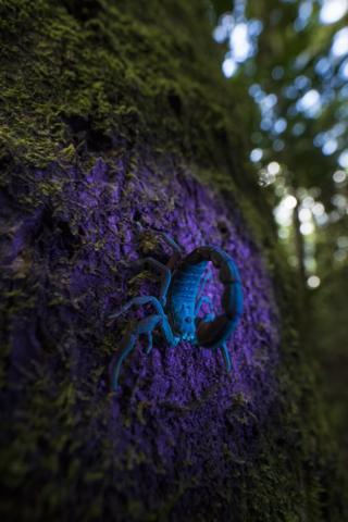 A scorpion under ultra-violet light
