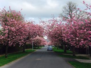 Blossom trees in Helensburgh