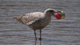 Птицы не умеют отличать мелкий пластик от рыбы