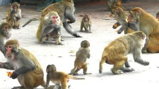 बंदर, वर्मिन, विनाशक, हिमाचल प्रदेश, शिमला, बंदर वर्मिन या विनाशक घोषित