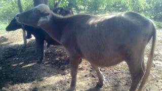 Azikheli buffalo