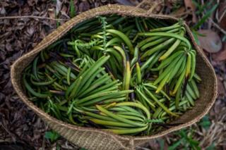 Imagem mostra cesto cheio de favas de baunilha