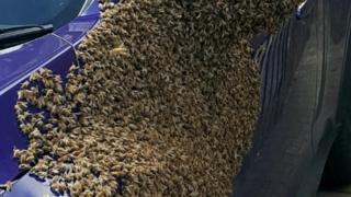 Bayan Taylor'a aracının arılar tarafından ele geçirildiğini komşusu haber verdi
