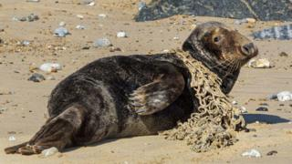 Norfolk RSPCA centre saves 50th seal with plastic injuries