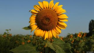 A sunflower at the site of the crash of MH17, Ukraine