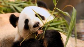 File photo of 10-year-old panda Ying Ying in Ocean Park