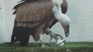 Harold the griffon vulture stunning wildlife foundation staff by laying an egg