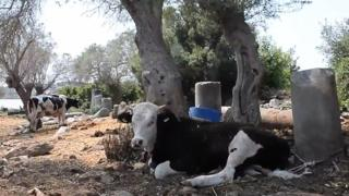 A cow tied to an old column in the ruins of Bargylia
