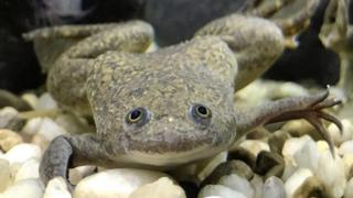 A Xenopus Laevis frog