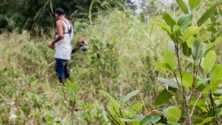 A farmer from the community of La Carmelita, Colombia, cuts away weeds from his coca plantation