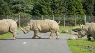 Rhinos crossing road at Blair Drummond Safari Park