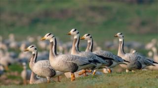 斑头雁是飞得最高的物种