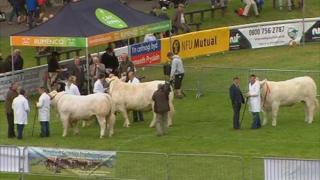 Cattle in the parade ground at the Royal Welsh Show on Monday