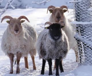Boreray sheep