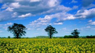 Oil seed rape fields in Suffolk.