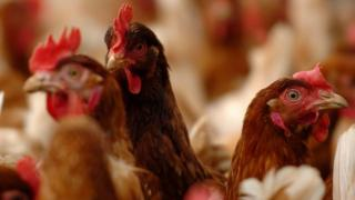 Chickens on a Norfolk farm