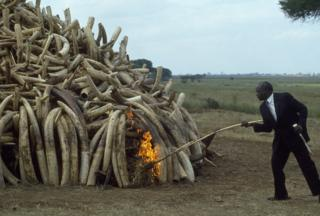 President Daniel Arap Moi , pictured holding his ceremonial ivory stick, setting fire to tusks worth 3 million US dollars, confiscated from poachers by Kenyan Game Wardens