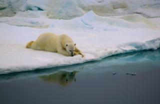 Polar bear lying on ice next to water