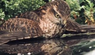 Keith Cowan: On holiday in Weem Perthshire. This Sparrow Hawk decided to take a dislike to its reflection in my car sun roof. Spent 2 hours attacking it!!!