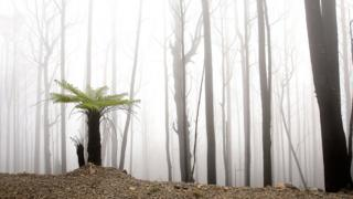 A fern grows in a bushfire-ravaged region, in an picture taken dual years after Black Saturday