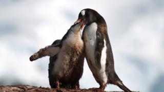 बेबी पेंग्विंनला घास भरवताना पेंग्विन्स
