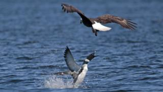 Loon fights eagle