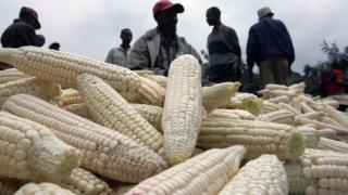 Au Kenya, les autorités ont lancé une vaste campagne d'achat de maïs sur les marchés extérieurs en raison de la sécheresse qui a gravement affecté les récoltes.